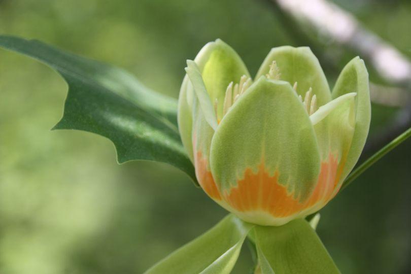 Tulip Poplar 1