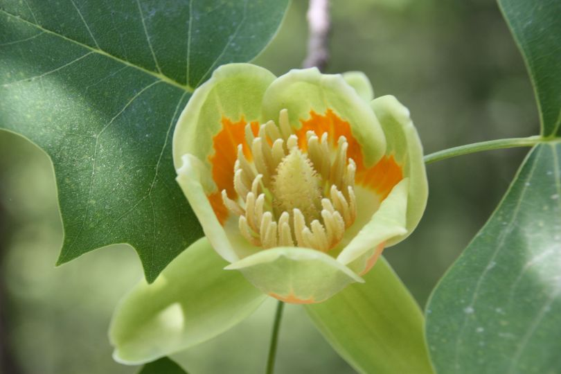 tulip poplar 2